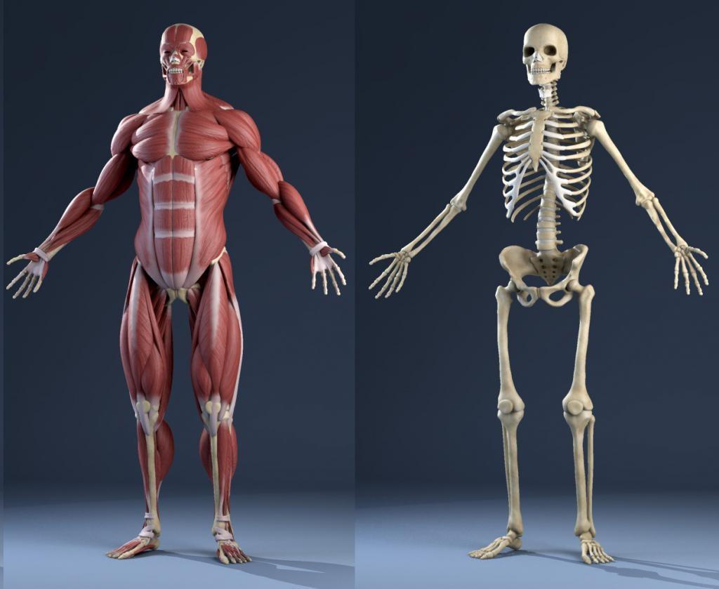 Значение анатомии