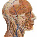Принципы изучения анатомии