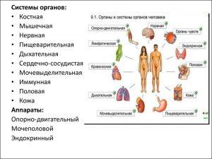 Органы, системы и аппараты органов